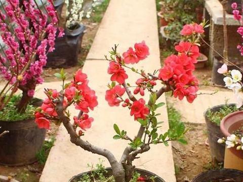 """养花人喜欢的""""老桩""""精品,造型优美、花朵鲜艳,越养越贵"""