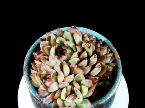 多肉植物女雏,生长速度快易生侧芽,喜欢干燥通风的环境,好养!