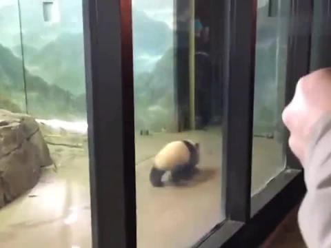 熊猫:熊猫妈妈:作业写完了吗就出去玩?小团子:这窒息的母爱啊