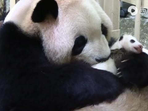 【大熊猫宝宝】关注牙龈是否看到了什么?(38日龄)