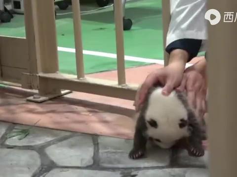 【大熊猫宝宝】从出生到今日体重增加了10倍!(41日龄)