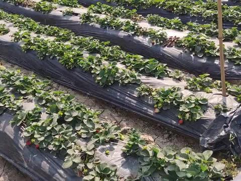 中山市小榄镇也有草莓园?