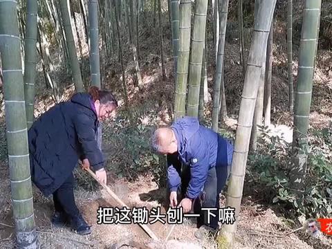 东哥和老表上山挖竹笋,这冬笋得有多大?锄头两个人都拔不出来