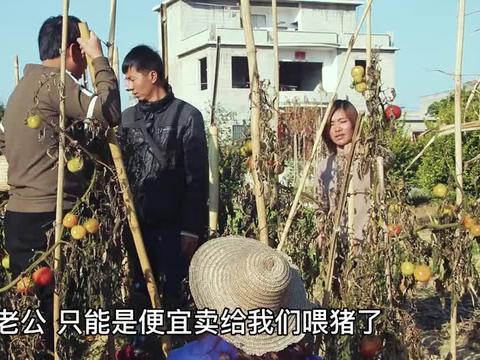 短剧:小伙种8亩西红柿,因天气突然下冰霜,全不能要了