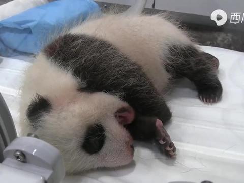 【大熊猫宝宝】已经快有正常婴儿大小了!(40日龄)