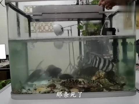 赶海小伙几天不喂鱼,鱼货饿的发疯,直接捕食同类