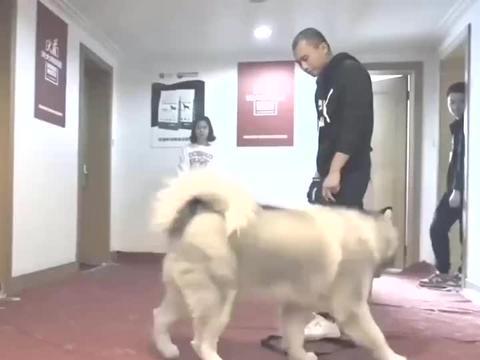 阿拉斯加被主人遗弃,收养者被咬送来训练,训狗师也被咬!