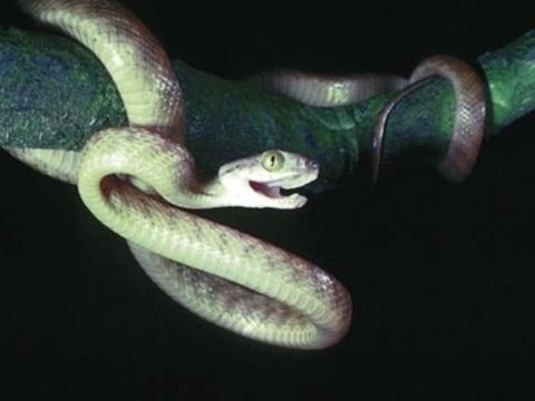 """蛇也会""""极限运动""""!为了吃,发明了第5种攀爬方式,太震撼了!"""