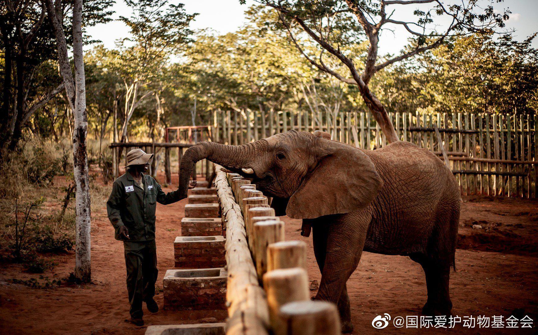 津巴布韦大象孤儿院,鼻子上有花纹的小公象马塔