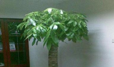 幸福树、散尾葵、发财树换盆土,参入这东西,呼呼疯长,不再烂根