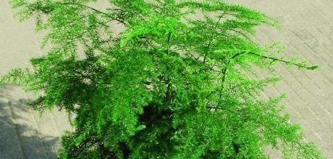 """养文竹做好2点,枝叶层层叠加,呼呼长成一棵""""大树"""""""