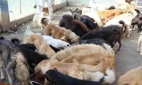 绵阳市西南科技大学附近,一处农家小院内收容着200多只流浪狗