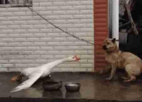 为什么说有鹅的地方蛇跑光,鹅粪真能杀蛇?鹅:我背后有人