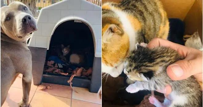 比特犬收留怀孕母猫待产