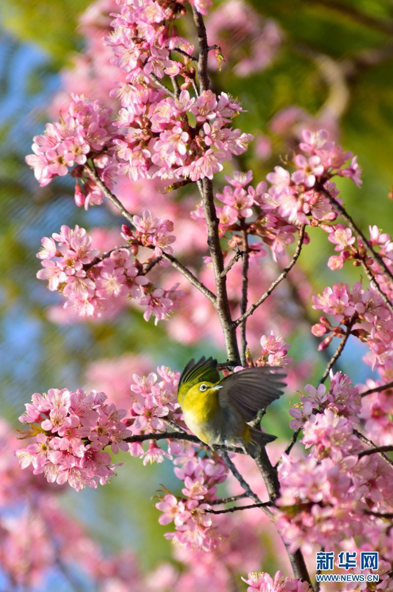 云南弥勒:樱花争相绽放 鸟儿枝头嬉戏