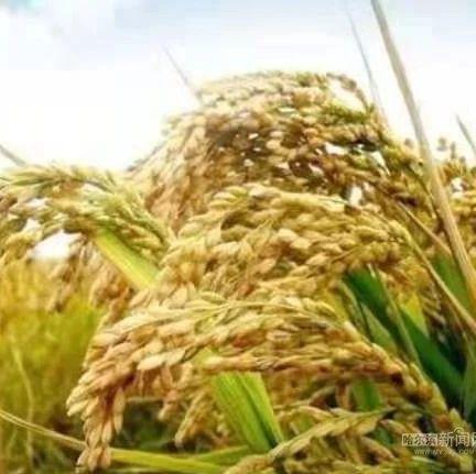 哈市粮食购销市场平稳顺畅丨累计从农民手中购粮586万吨