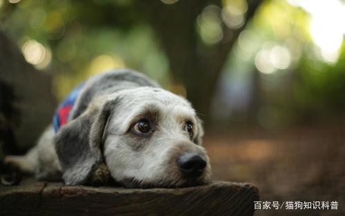 弗诺多:狗狗支气管炎