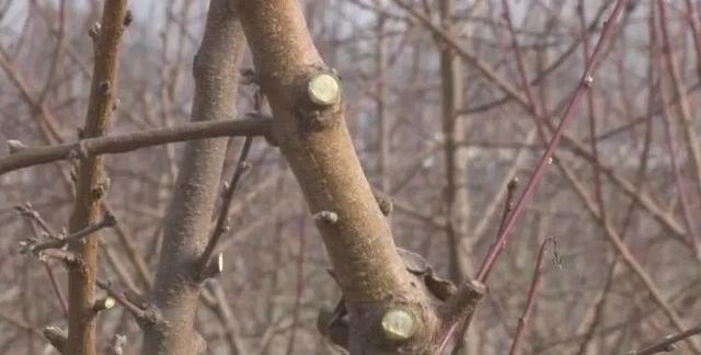 安徽果树专家来到白浮图镇,分享果树管理经验