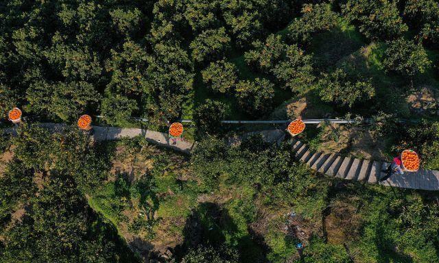 湖北宜昌:脐橙又获丰收,产量达60亿斤,农民抢抓时节采收!