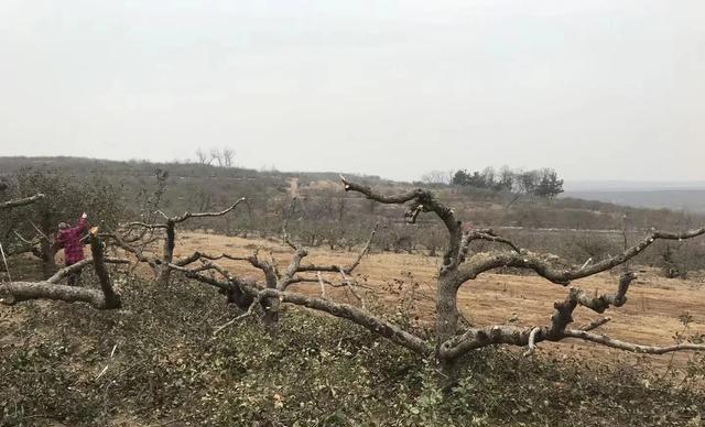 有些地方为什么出现挖苹果树现象?