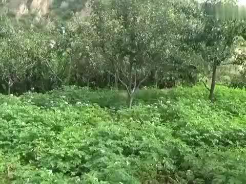 农村三个婆姨上山挖野菜,今天来对了地方,密密麻麻挖起来太过瘾