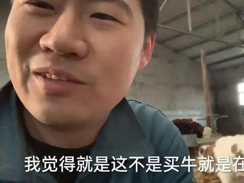 4000买的早产小公牛弗莱维赫,装编织袋直接抱回家,60多块钱一斤