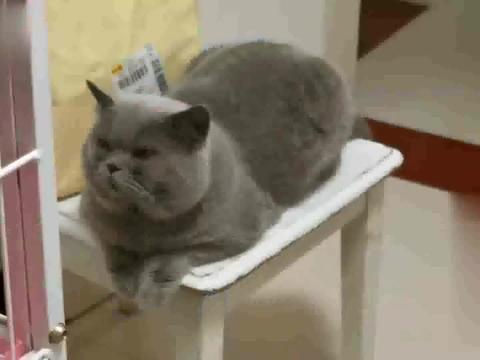 家里两只胖公猫爱打架,主人愁得向母猫诉苦,胖公猫一脸霸道