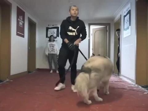阿拉斯加咬主人被遗弃,收养人全家被咬送来训练,又把训犬师咬伤
