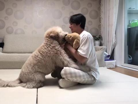 主人对玩具狗百般宠爱,家里的贵宾犬不干了,下一秒笑爆了