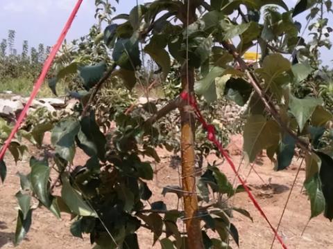 果树生长旺盛,光长枝叶不长花果,果农如何管理?