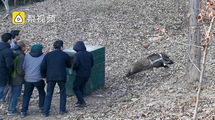 南京红山森林动物园放归野猪,猪猪背着定位器一溜烟跑了