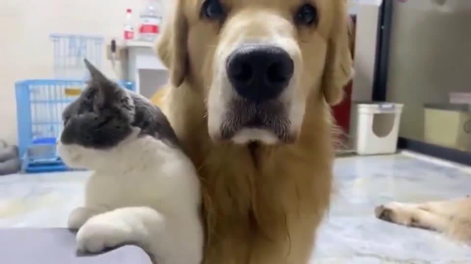 狸花猫:这个狗子不解风情啊,金毛:她刚刚是蹭我了嘛