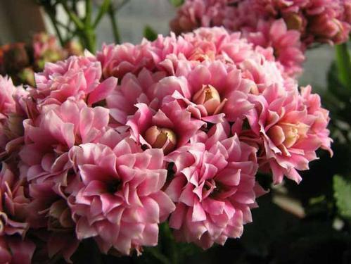 冬天养长寿花,了解掌握3个要点,叶片肥绿,枝头花苞长不停!