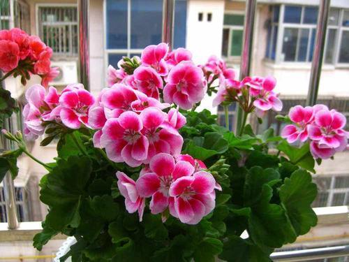 冬天养天竺葵,了解掌握4个要点,叶片油绿,开出层叠群花!