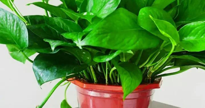 特别怕冷的植株,保温不到位,归垃圾堆管了!常见植物防寒技巧