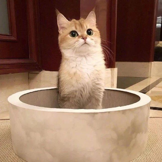 梦中情猫金渐层tootie,眼线比我画的好多了!