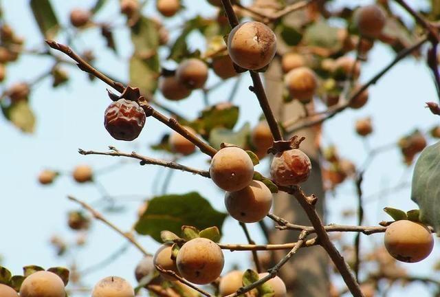 一种长得像柿子的野果,集市上十几元一斤,为何很少种植?