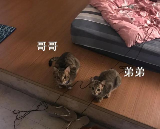 可爱萌宠:收养了一只流浪狸花猫,一年后……变巨猫,超吓人!