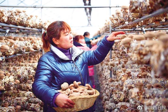 三秦新风貌 小香菇种出大产业