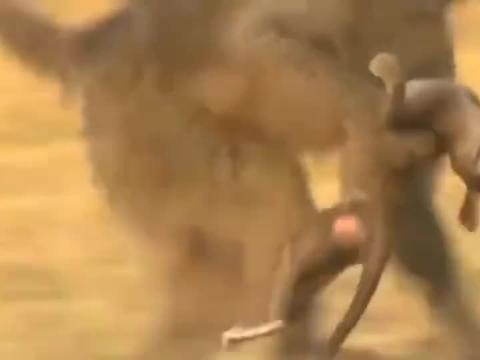 小猴被猎豹叼走,看母猴是怎样救拼死小猴的!