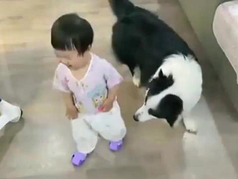 边牧:带娃我是专业的,我要保护好我的小主子