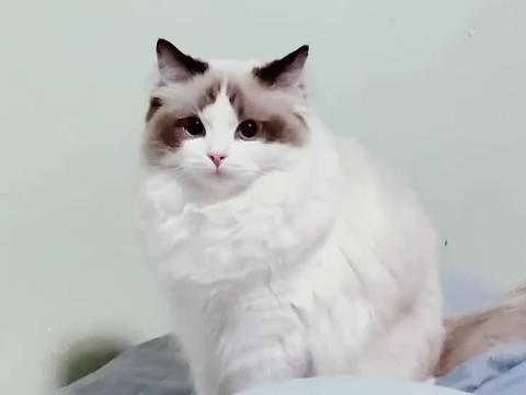 布偶猫杵着,让我欣赏盛世美颜