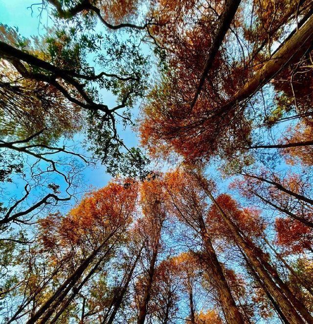 洪湖公园的落羽杉:冬日里一抹灿烂的金色