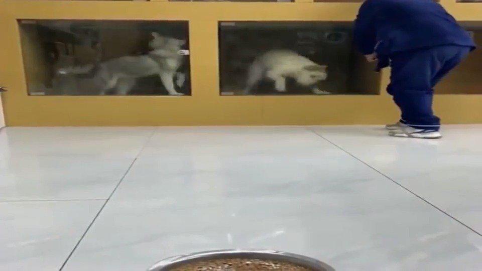 拉布拉多看到狗粮后,激动到都不会走路了,这是饿多久了?