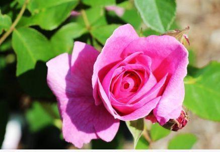 """新手养花,不如养盆花中精品""""杰基尔玫瑰"""",素雅迥异,妖艳欲滴"""