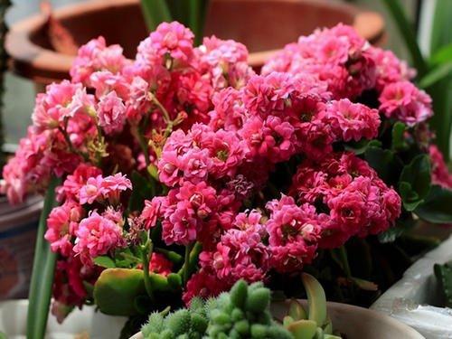 最厉害的养花营养液,给长寿花喝一勺,叶片肥绿,花期能达半年!