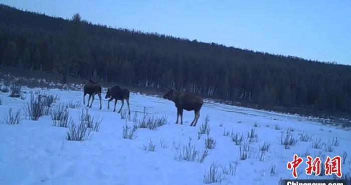 内蒙古大兴安岭一自然保护区驼鹿种群呈上升趋势