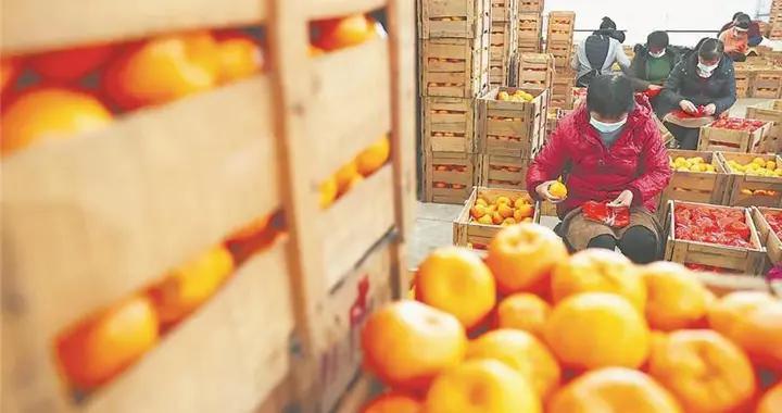 永春:芦柑丰收忙上市