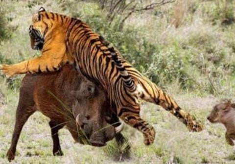 400斤的野猪PK东北虎,山林里的巅峰对决,镜头拍下惊险的一幕