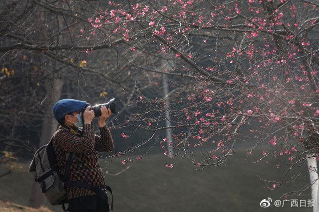 南宁石门森林公园的樱花开了!一起去看吗?